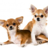 Long-haired Chihuahuas