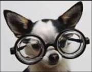 dog eye problems Chihuahua Eye Care