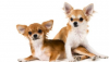 Should You Have Insurance for Your Chihuahua?